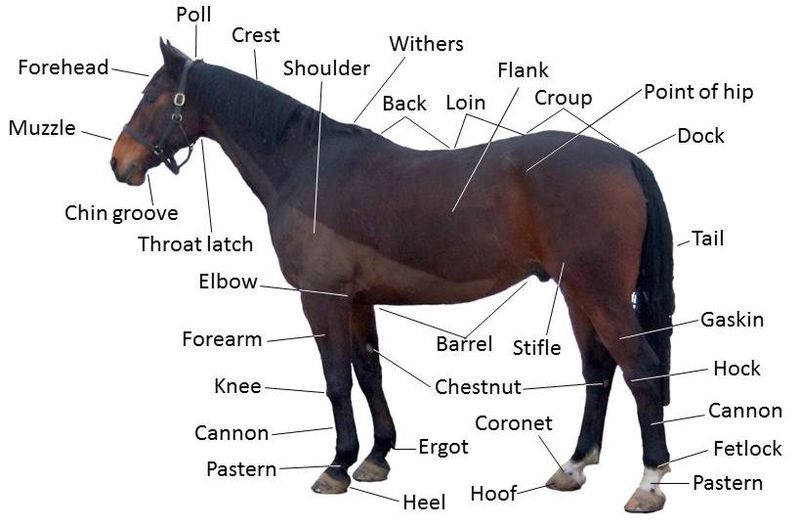 Vocabulary I: Horse Body Parts