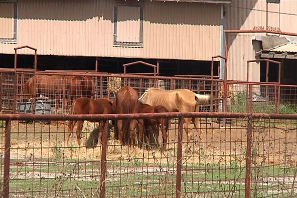 Fate of Robstown Horses Decided by Justice of the Peace