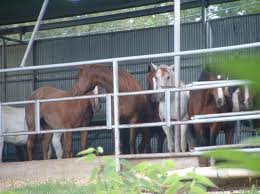 Horses waiting to be slaughtered in the kill pens of Dallas Crown, Inc.