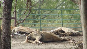 Decaying carcasses of horses starved to death at Terry Saulters' property in Waco, Texas. . Photo courtesy of kaufmanzoning.net.