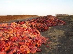 Rotting horse offal piles near Natural Valley Farms plant, Neudorf, Canada . Photo courtesy of the Canadian Horse Defense Coalition.