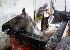 Horses being killed in Mexican slaughterhouse by puntilla method