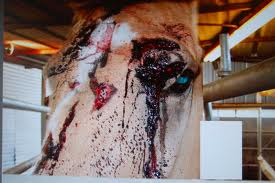 During transport and at the slaughterhouse, eyes are often poked out on unruly horses.
