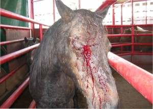 Horse injured during transport to Beltex horse slaughter plant