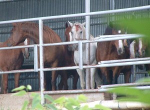 Dallas Crown kill pen - are these old nags - no they are healthy horses - note the head injury