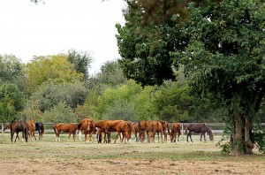 Horses grazing at Habitat for Horses