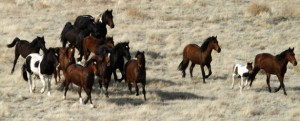 Wild horses being herded outside Tooele