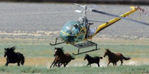 A livestock helicopter pilot rounds up wild horses in Washoe County, Nev., July 13, 2008. (AP Photo/Brad Horn)