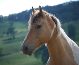 In addition to manifold ethical questions, the consumption of horse meat poses a health hazard. Jennifer Kunz/The HSUS