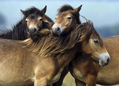 Exmoor pony horses are first to be imported. (ČTK)