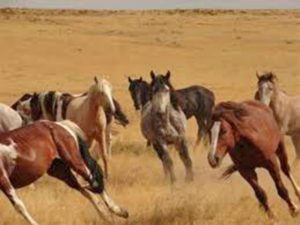 Wild horses roam federal lands in several states. The Bureau of Land Management is proceeding with a plan to move 700 wild horses to the Spanish Q Ranch northwest of Ennis.