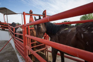 Emaciated horses line up at a Mexican slaughterhouse (Keystone)
