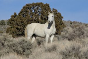 Federal officials trapped a small band of wild horses near a Carson City subdivision where residents had virtually adopted the animals. (Laura Leigh / Wild Horse Education)
