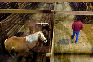 Sally Ryan for The New York Times Some horse auctions, like this one in Shipshewana, Ind., also deal in animals destined for slaughter in Canada and Mexico.