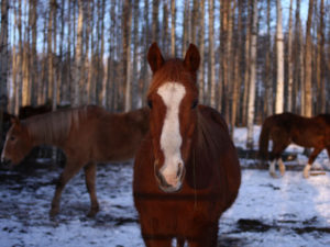 With the end of the mare urine farms and the closure of U.S. processing plants, Kathy Bartley can now purchase (or save as she sees it) papered, registered, well-bred horses that would otherwise have been bought by the horse meat industry for pennies a pound.