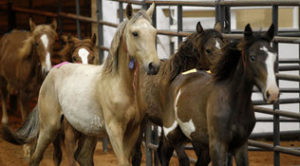 Horses move through a series of pens at a preview for buyers at the Mustang Million wild horse adoption auction sponsored by the Bureau of Land Management and the Mustang Heritage Foundation in Fort Worth, Texas RODGER MALLISON / FORT WORTH STAR-TELEGRAM/MCT