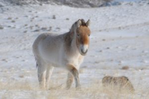 The Przewalski's horse, recently brought back from the brink of extinction in Mongolia, is truly the last remaining wild horse, suggests the new study. CLAUDIA FEH, ASSOCIATION POUR LE CHEVAL DE PRZEWALSKI