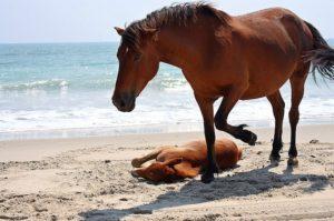 flk-cc-john-corolla-wild-horse-beach-foal-155977198_54813dd383_z