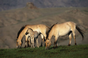 Przewalski's horses, once classed as extinct in the wild, have reemerged in northwestern China.  GETTY IMAGES