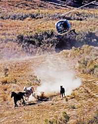 A helicopter is used to round up wild horses in the Book Cliffs.