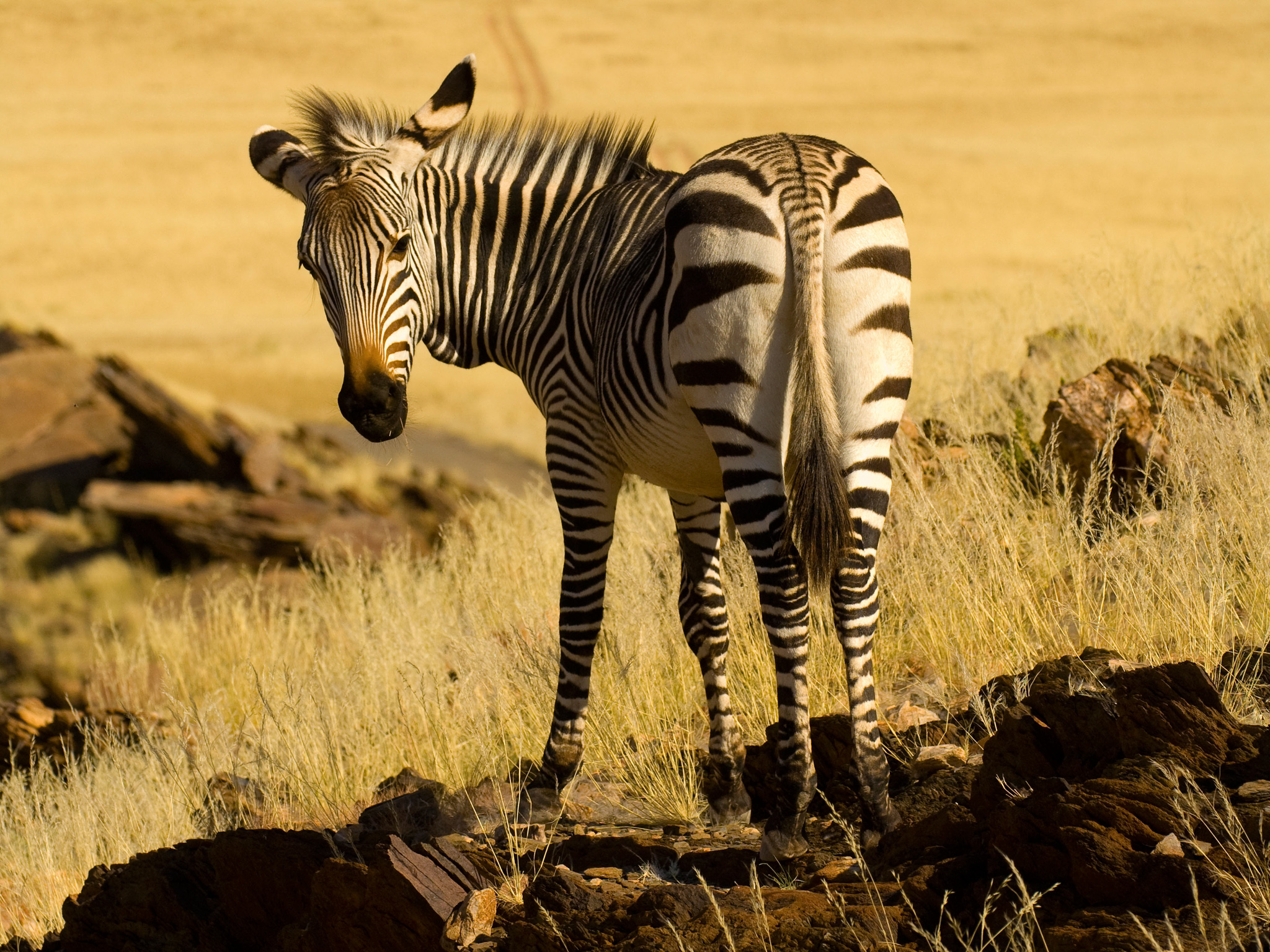 Mountain zebra Rostock Ritz Desert Lodge Solitaire Namib Desert Namib Naukluft National Park Namibia