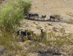 Terry Watt In the wild Courtney says, burros and horses seek shade from the heat in brush.