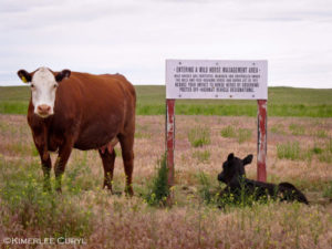 cows-grazing-in-wild-horse-area-kimmerleee-curyl
