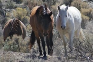 Animal advocates fear wild mustangs like these were part of a roundup on tribal lands in northern Nevada. (Laura Leigh / Wild Horse Education / February 27, 2013)