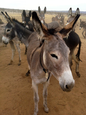 Photo by Caitlin Esch/ KQED Nuisance burros sometimes wander on to the runway at the nearby naval base. But wranglers say if you adopt one, they make great hiking companions. And they scare away coyotes too.