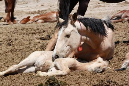 """A native wild horse filly lies lifeless within a sun-baked government pen"" / Photo by Patty Bumgarner"