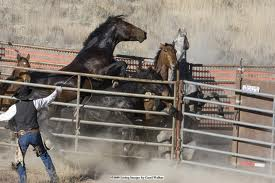 A demonstration of the BLM's excellence in handling wild horses.