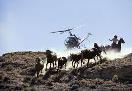 Helicopters are only used to slowly guide wild horses to gather points