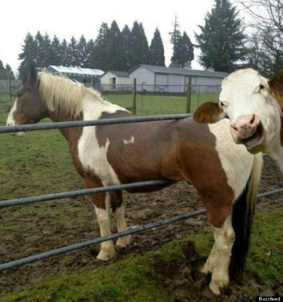 cow photo bombs horse pic