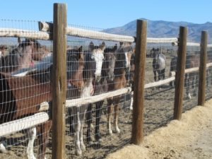 Horses stand behind a fence at the Bureau of Land Management's Palomino Valley holding facility in Palomino Valley, Nev., on June 5. A scathing independent scientific review of wild horse roundups in the West concludes the U.S. government should likely instead let nature cull the herds. (AP Photo/Scott Sonner, File)