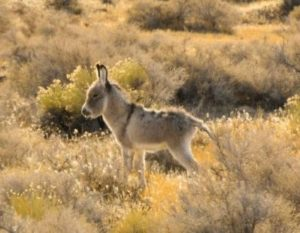 Baby burro living on lands near the Sheldon Refuge, January 2012. Photo by Mike Lorden.