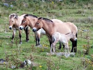 Przewalskis_horse_foal_JanMorse_300x225