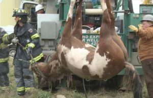 Rocket the horse being hoisted out of a well. 9News.com