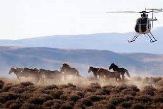wild horse round up
