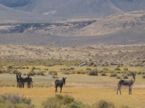 Sheldon Wild Life Refuge horse roundup