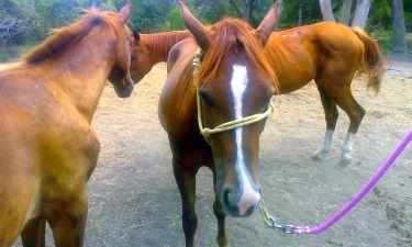 Tannah - adoptable horse