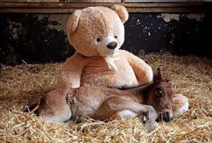 foal3