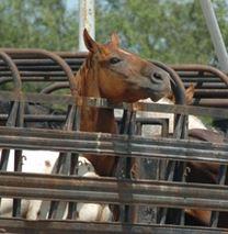 horsetoslaughter2