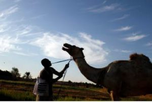 No fishing from atop a camel. (Tara Todras-Whitehill)