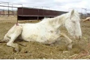 This is one of the four severely malnourished horses discovered by a national animal rights group at a Los Lunas livestock auction lot in March 2012.