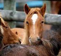 horseslaughter2