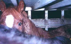 Horses being transported to slaughter.