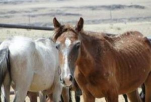 AP FileThis undated photo provided by Animals' Angels shows severely malnourished horses in Valencia County at the Dennis Chavez feedlot in Los Lunas, N.M. As horse rescue operations struggle to keep up with a growing number of neglected, abused and starving animals, some are advocating humane horse slaughter as a way to control an exploding equine population.