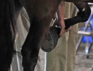 horse soring
