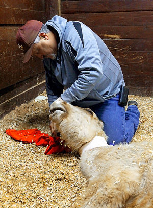 dr jenkins wipes the eyes of a dying palomino