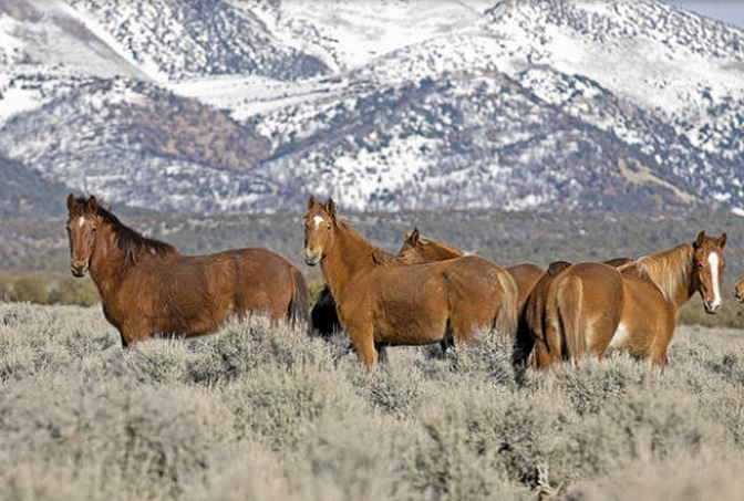 Ross Andreson/Elko Daily Free Press file These wild horses stopped to look while being photographed Feb. 8, 2011, off the Bald Mountain Mine Road.